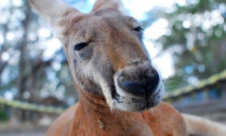 Kangaroo | Backpacking with Bacon | Solo Travel Blog