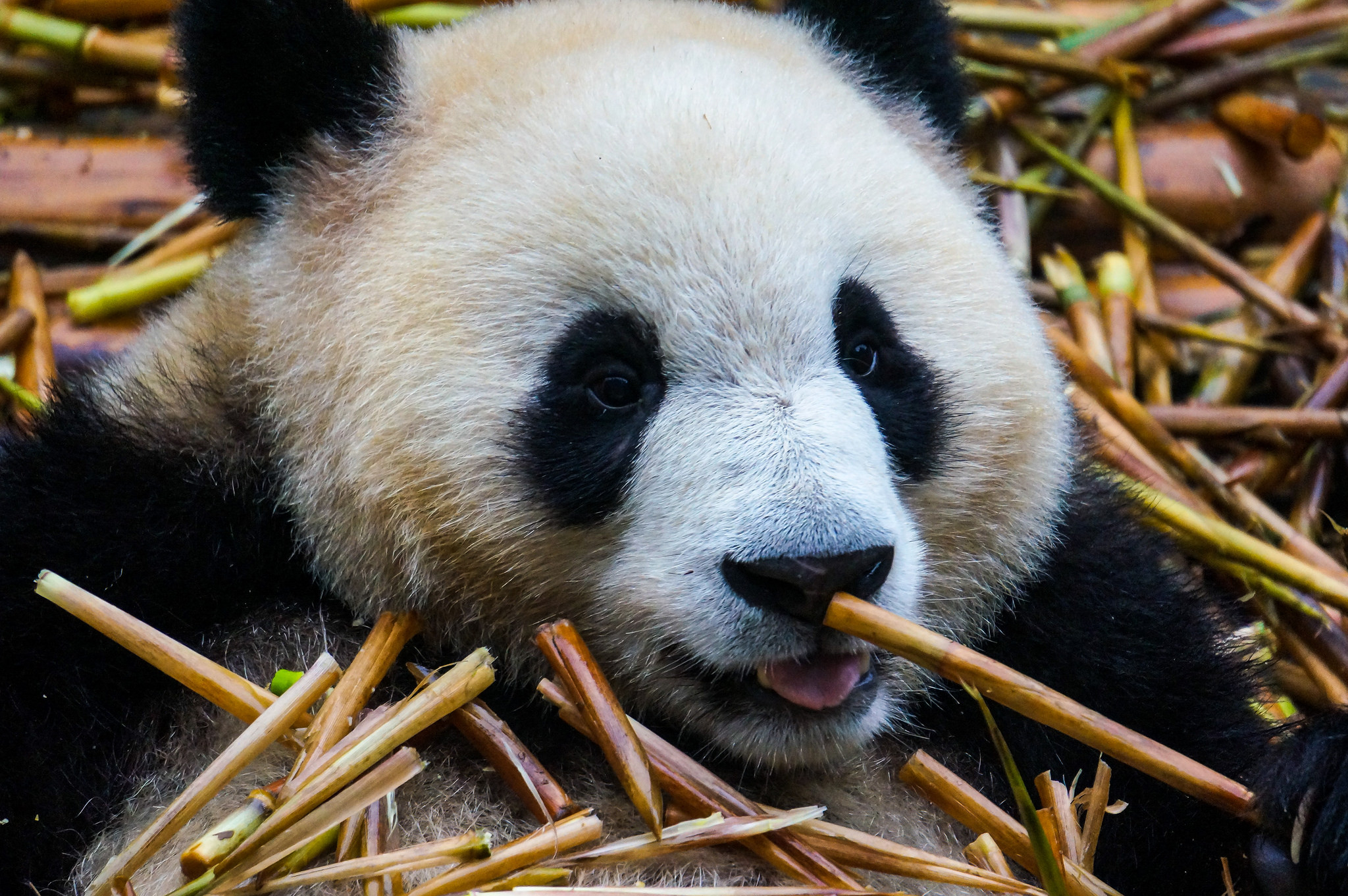 Giant Panda Chengdu | Backpacking with Bacon | Post Office Travel Blogger of the Year 2018