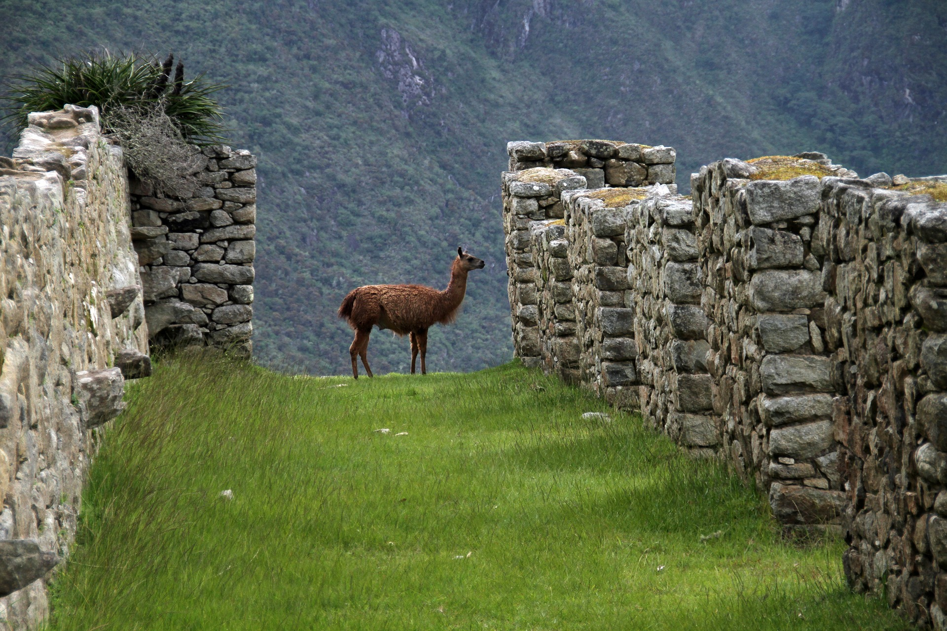 Llama | Eight Reasons To Visit Machu Picchu | Backpacking with Bacon